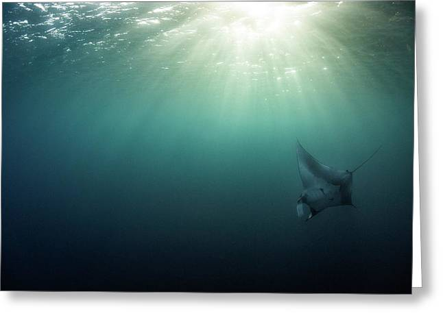 Greeting Card featuring the photograph Giant Manta Ray by Nicole Young