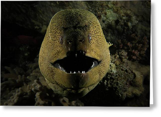 Giant Moray Eel Opening Its Mouth, Gubal Island, Red Sea Greeting Card