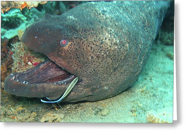 Giant Moray Moray Gymnothorax Javanicus With Cleaner Fish Labrichthyini Coral Reef Small Gobal Greeting Card