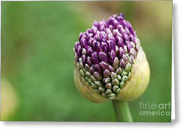 Giant Purple Allium Bud Just Opening Greeting Card