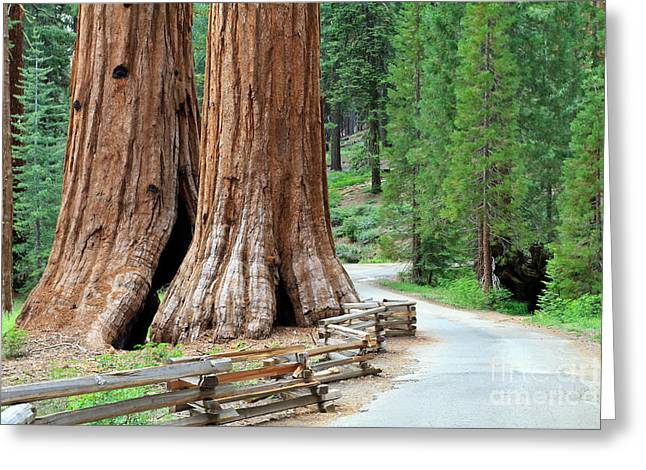 Giant Sequoias, Mariposa Grove Yosemite Greeting Card