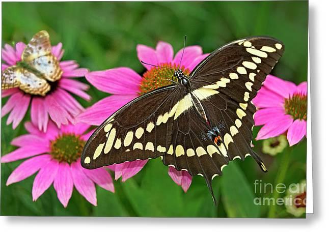 Giant Swallowtail Papilo Cresphontes Greeting Card
