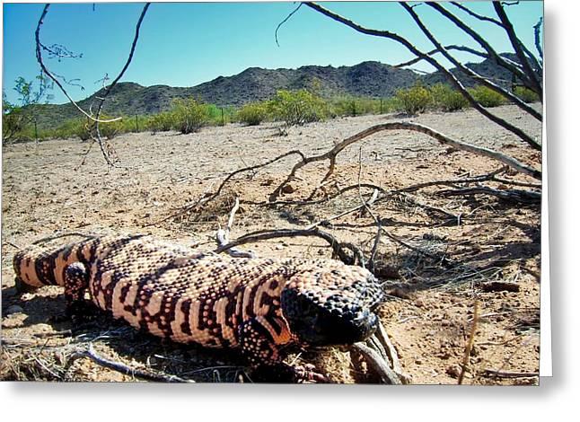 Gila Monster In The Arizona Sonoran Desert Greeting Card