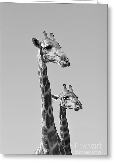 Giraffe - African Wildlife Background - Greeting Card