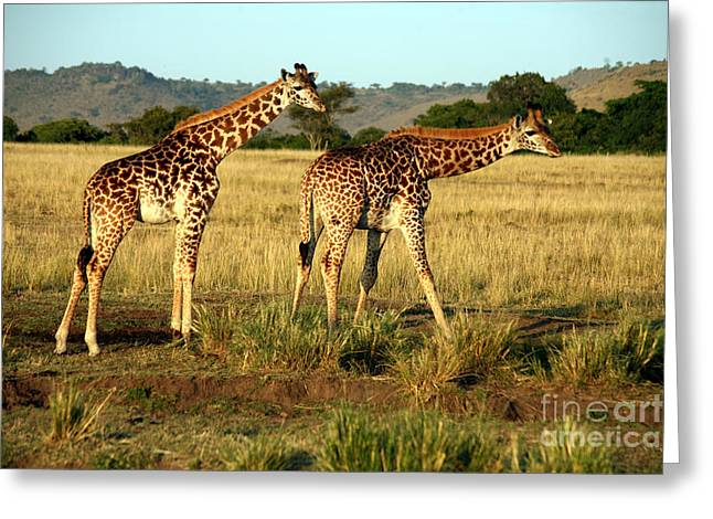 Giraffe Drinking In The Grasslands Of Greeting Card