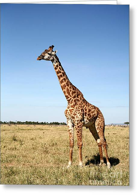 Giraffe Standing In The Grasslands Of Greeting Card