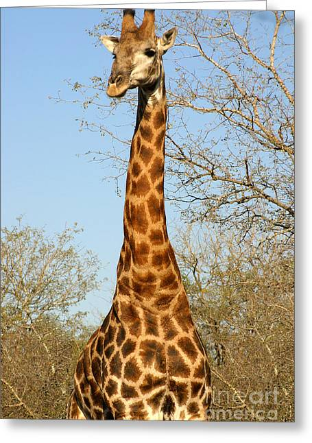 Giraffe Standing In The Trees Kruger Greeting Card
