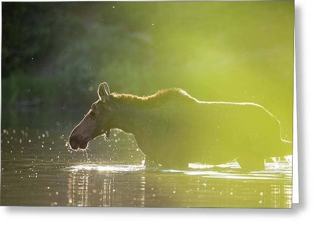 Glowing Moose // Glacier National Park  Greeting Card