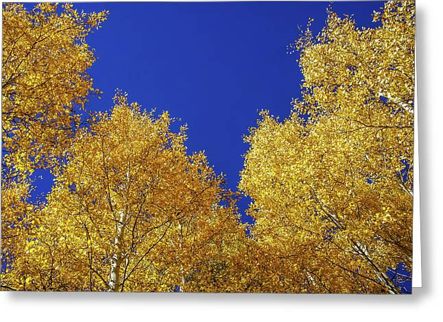 Golden Aspens And Blue Skies Greeting Card