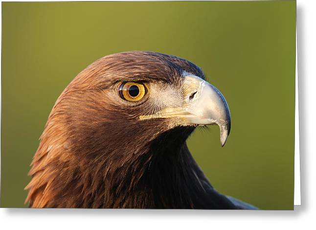 Greeting Card featuring the photograph Golden Eagle 5151801 by Rick Veldman