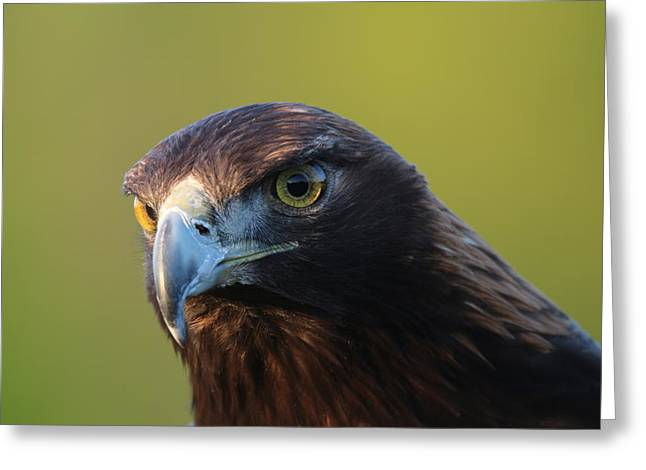 Greeting Card featuring the photograph Golden Eagle 5151802 by Rick Veldman