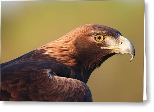Greeting Card featuring the photograph Golden Eagle 5151806 by Rick Veldman