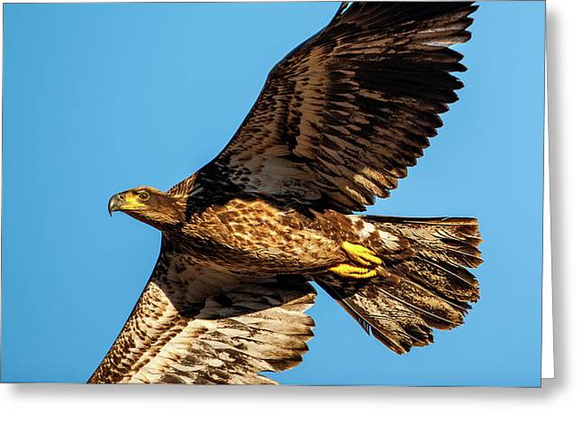 Greeting Card featuring the photograph Golden Eagle II by Jeff Phillippi