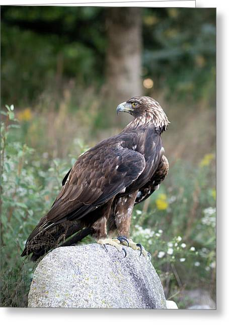 Golden Eagle On Rock 92515 Greeting Card
