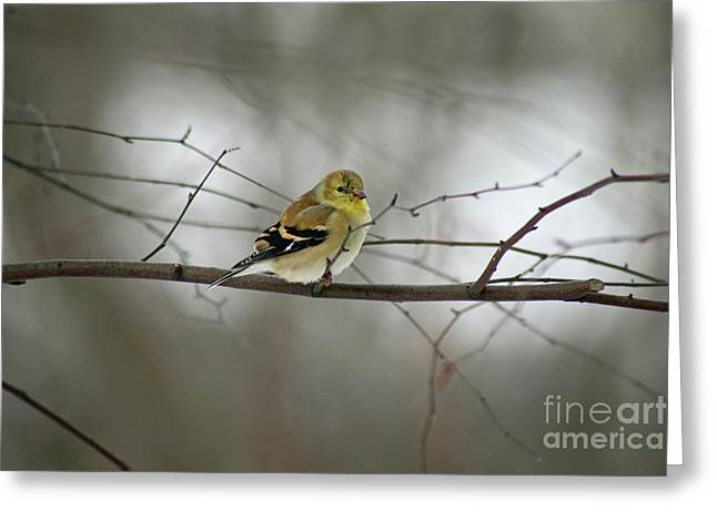 Goldfinch In Winter Looking At You Greeting Card
