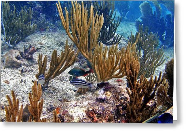 Gorgonian Parrotfish Greeting Card