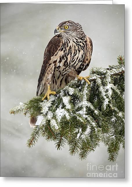 Goshawk Sitting Oh The Spruce Branch Greeting Card