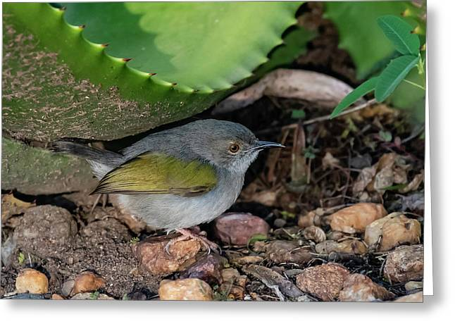 Gray-backed Camaroptera Greeting Card