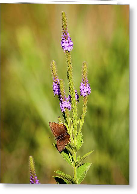 Greeting Card featuring the photograph Gray Copper On Blazing Star by Jeff Phillippi