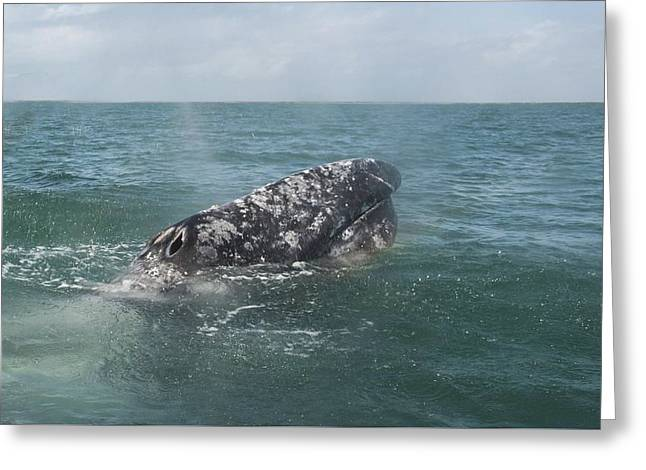 Gray Whale In Bahia Magdalena Greeting Card
