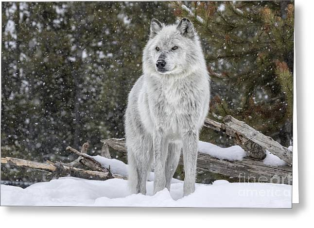 Gray Wolf Greeting Card by David Osborn