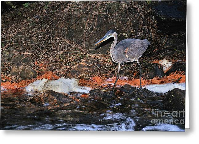 Greeting Card featuring the photograph Great Blue Heron by Debbie Stahre