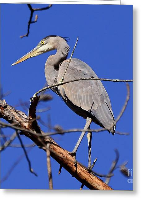 Great Blue Heron Strikes A Pose Greeting Card