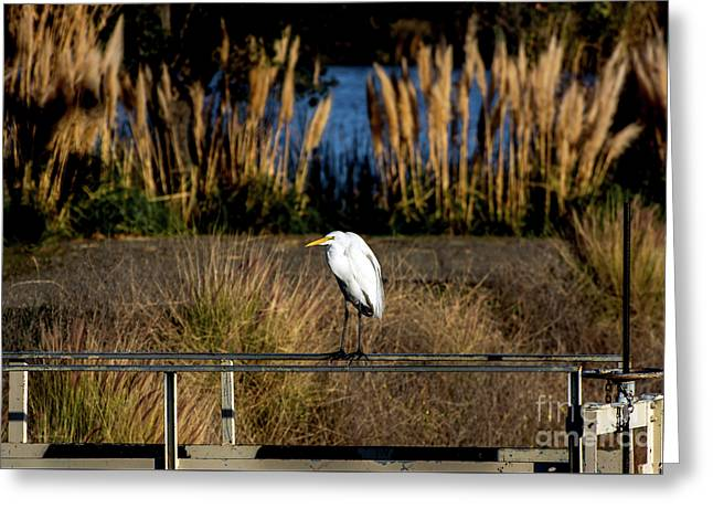 Great Egret Posing By Golden Pampas Grass Greeting Card