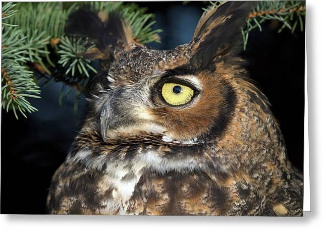 Greeting Card featuring the photograph Great Horned Owl 10181801 by Rick Veldman