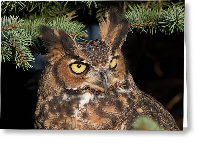 Greeting Card featuring the photograph Great Horned Owl 10181802 by Rick Veldman