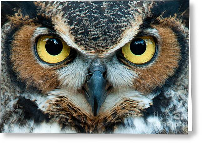 Great Horned Owl Staring With Golden Greeting Card