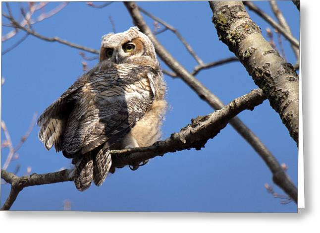 Greeting Card featuring the photograph Great Horned Owlet 42915 by Rick Veldman