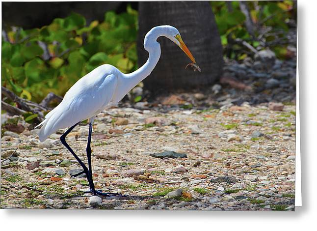 Great White Egret Hunter Greeting Card