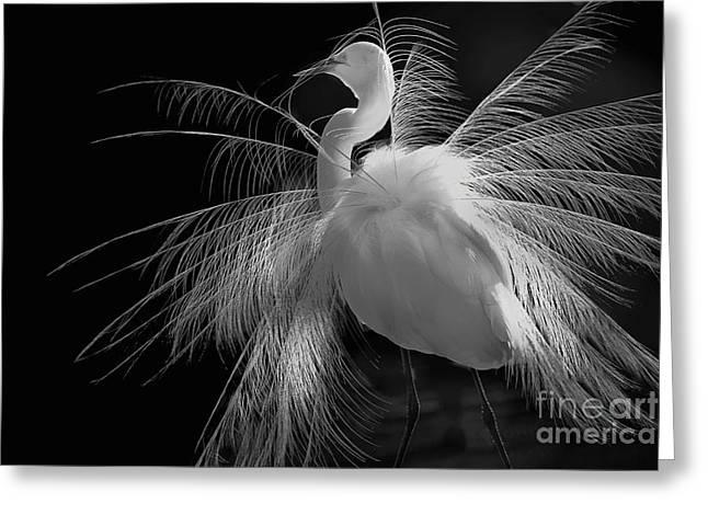Great White Egret Portrait - Displaying Plumage  Greeting Card