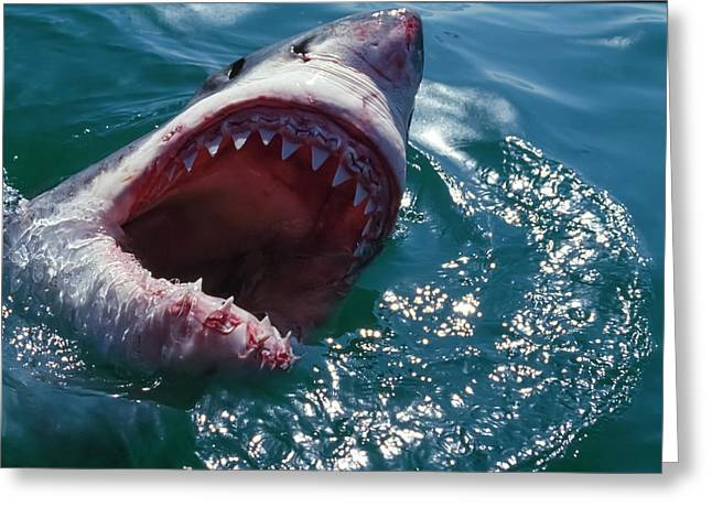 Great White Shark, Near Gansbaii, South Greeting Card by Stuart Westmorland