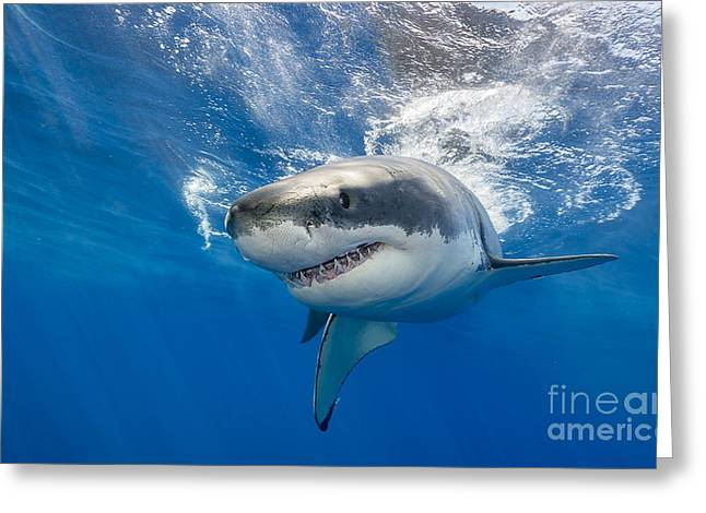 Great White Shark Swimming Just Under Greeting Card by Wildestanimal