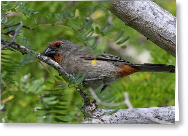 Greater Antillean Bullfinch Greeting Card