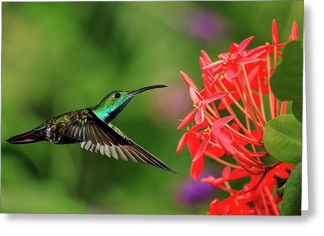 Green-breasted Mango Hummingbird, Costa Greeting Card by Adam Jones