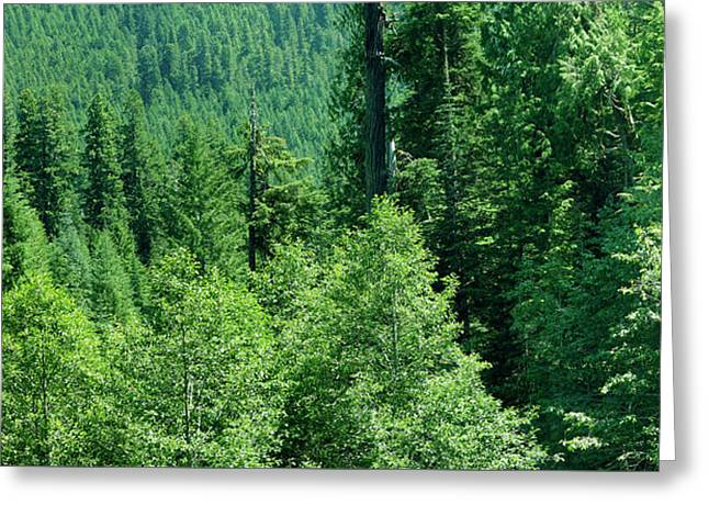 Green Conifer Forest On Steep Hillside  Greeting Card