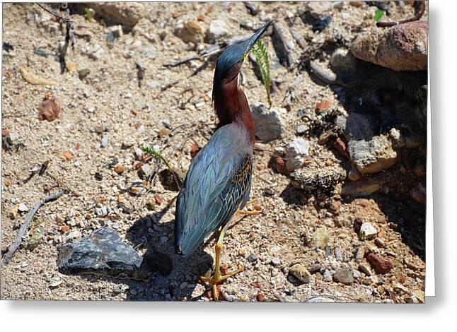 Green Heron Strut Greeting Card