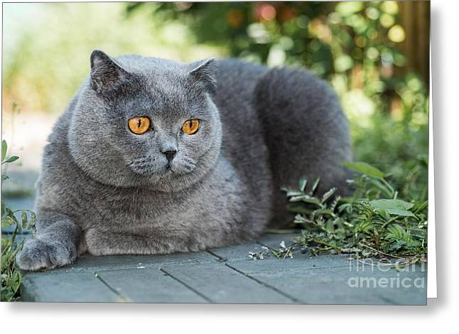Grey British Cat Lying In The Green Greeting Card by Anton Papulov
