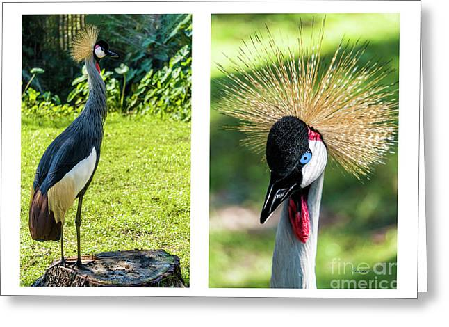 Grey Crowned Crane Gulf Shores Al Collage 8 Diptych Greeting Card