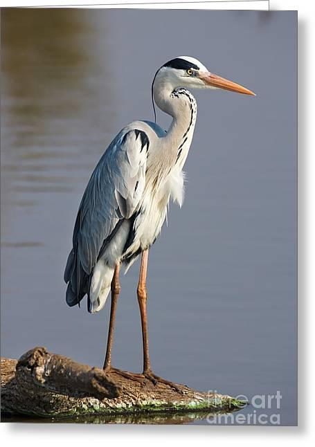 Grey Heron  Ardea Cinerea  South Africa Greeting Card by Johan Swanepoel