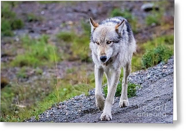 Grey Wolf In Denali National Park, Alaska Greeting Card