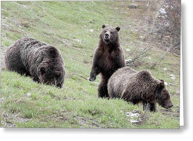 Greeting Card featuring the photograph Grizzly 610 And Cubs by Ronnie and Frances Howard