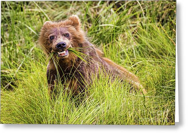 Grizzly Cub Grazing, Alaska Greeting Card