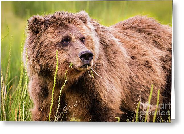 Grizzly In Lake Clark National Park, Alaska Greeting Card