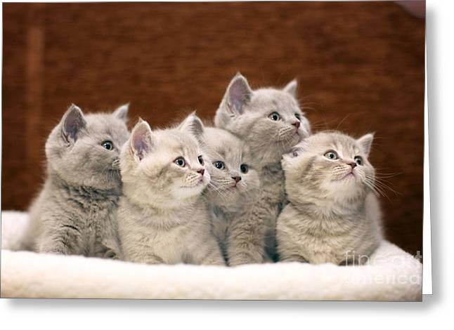 Group Of Cute Gray British Kittens Greeting Card