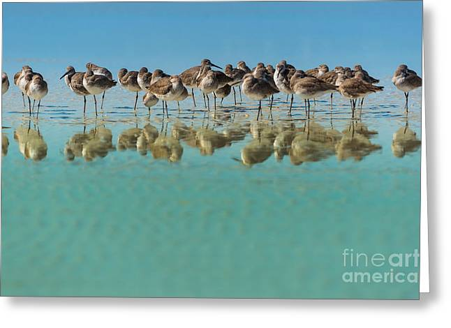 Group Of Willets Reflection On The Greeting Card