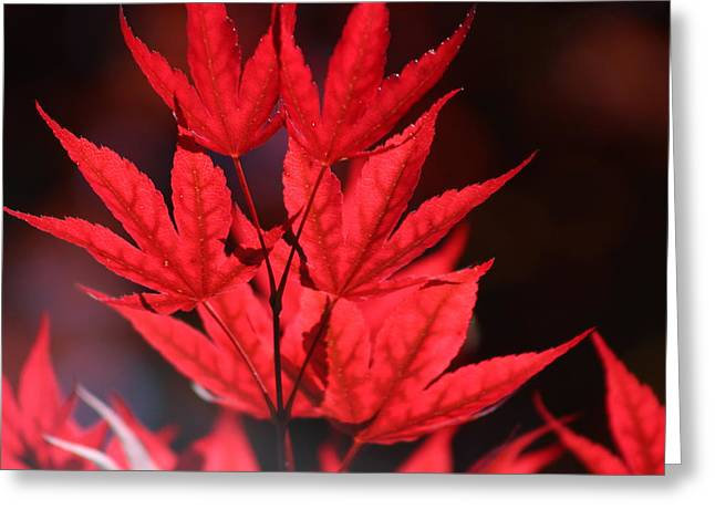 Guardsman Red Japanese Maple Leaves Greeting Card